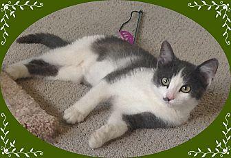Domestic Shorthair Cat for adoption in Mt. Prospect, Illinois - Gabbana