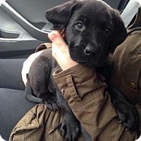 Adopt A Pet :: Bo - Hamilton, ON
