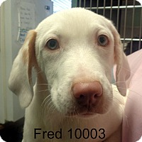 Adopt A Pet :: Fred - baltimore, MD