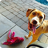 Adopt A Pet :: Lilly - Surprise, AZ