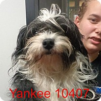 Adopt A Pet :: Yankee - baltimore, MD