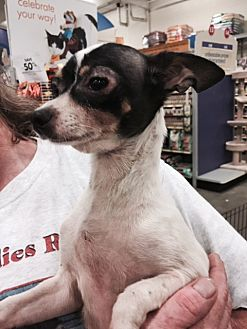 Terrier (Unknown Type, Medium)/Chihuahua Mix Dog for adoption in Fresno, California - Bella