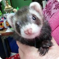 Adopt A Pet :: Dash - Balch Springs, TX