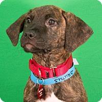 Adopt A Pet :: Brutus - Berkeley Heights, NJ