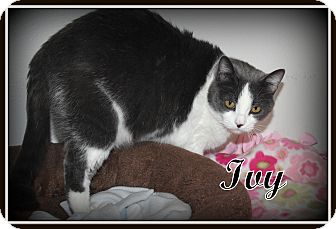 Domestic Shorthair Cat for adoption in Salem, Ohio - Ivy