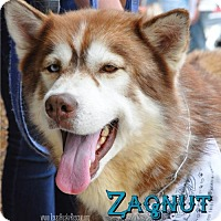 Adopt A Pet :: Zagnut- Coming soon/Foster needed! - Carrollton, TX