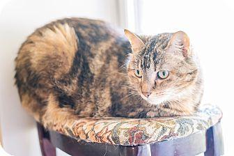American Shorthair Cat for adoption in Cedar Springs, Michigan - Phoenix