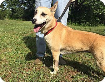 Corgi/Basenji Mix Dog for adoption in Simpsonville, South Carolina - Ella