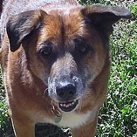 Shepherd (Unknown Type) Mix Dog for adoption in Phoenix, Arizona - Charlie