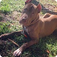 Adopt A Pet :: Dixie - Pawsitive Direction - Loxahatchee, FL