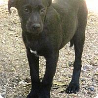 Catahoula Leopard Dog/Labrador Retriever Mix Puppy for adoption in Godley, Texas - Caddo