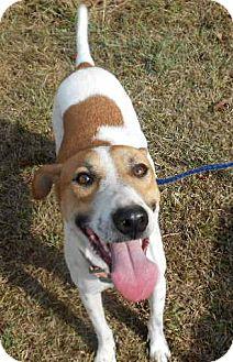 Greyhound/Pointer Mix Dog for adoption in Allentown, New Jersey - Tara