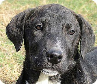 Plott Hound/Labrador Retriever Mix Puppy for adoption in Germantown, Maryland - Taylor