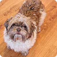 Shih Tzu Dog for adoption in Edina, Minnesota - Saydee  D161613