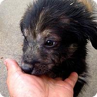 Adopt A Pet :: Kevin Patrick Compton Puppy - Corona, CA