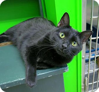 Domestic Shorthair Cat for adoption in Northbrook, Illinois - Reeta