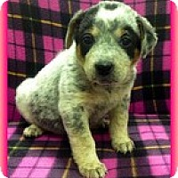Adopt A Pet :: Stormy - Staunton, VA