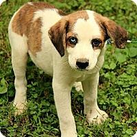 Adopt A Pet :: Dalton - Brattleboro, VT