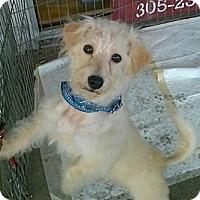 Adopt A Pet :: Precious - Miami, FL