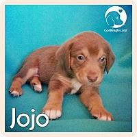 Adopt A Pet :: JoJo - Novi, MI
