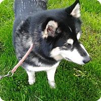 Adopt A Pet :: Cheyenne - Augusta County, VA