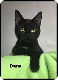 Domestic Shorthair Cat for adoption in Ottumwa, Iowa - Dana