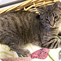 Adopt A Pet :: Tiger - Toledo, OH