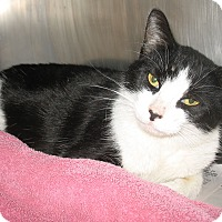 Domestic Shorthair Cat for adoption in Port Jervis, New York - Claudia