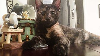 Calico Kitten for adoption in Orange, California - Fauna