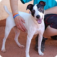 Jack Russell Terrier Mix Dog for adoption in Las Vegas, Nevada - Stewart