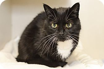 Domestic Shorthair Cat for adoption in Whitehall, Pennsylvania - Goopy Doodle (aka Goofy Girl)