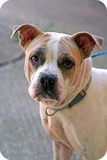 Bulldog/Boxer Mix Dog for adoption in Pottsville, Pennsylvania - Roxy