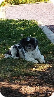 Shih Tzu Dog for adoption in Baltimore, Maryland - Scrappy (COURTESY POST)