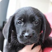 Adopt A Pet :: Puma - Royal Palm Beach, FL