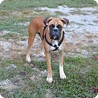 Adopt A Pet :: Pharaoh - Allentown, PA