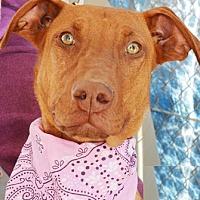 Doberman Pinscher Mix Dog for adoption in Littlerock, California - Charity