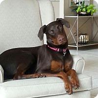 Adopt A Pet :: Uma - Minneapolis, MN