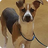 Beagle Mix Puppy for adoption in Hurst, Texas - Bernie