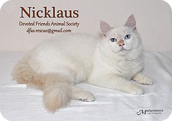 Himalayan Cat for adoption in Ortonville, Michigan - Nicklaus
