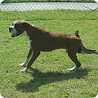 Boxer Mix Dog for adoption in Austin, Texas - Tobler