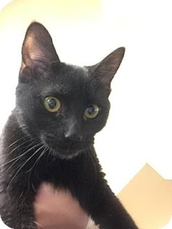 Domestic Shorthair Kitten for adoption in Cumming, Georgia - Onyx