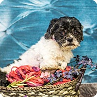 Shih Tzu Mix Dog for adoption in Princeton, Minnesota - Moly