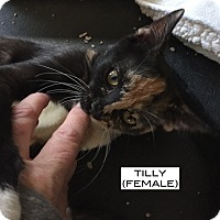 Adopt A Pet :: Tilly - Santa Monica, CA