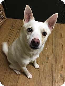 Chihuahua/Terrier (Unknown Type, Small) Mix Dog for adoption in Chicago Heights, Illinois - Blanco