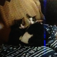 Adopt A Pet :: Cat Stevens - JB''s brother - Rochester, NY