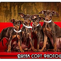 Adopt A Pet :: Min Pin Puppies - Owensboro, KY