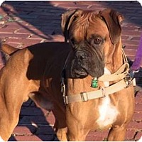 Adopt A Pet :: Simba (URGENT) - Grafton, MA