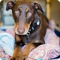 Adopt A Pet :: Kobe - Santa Barbara, CA