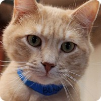 Domestic Shorthair Cat for adoption in Savannah, Missouri - Benny