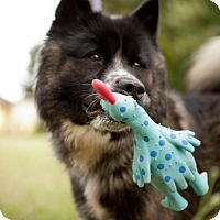 Adopt A Pet :: Lil Bear - Toms River, NJ